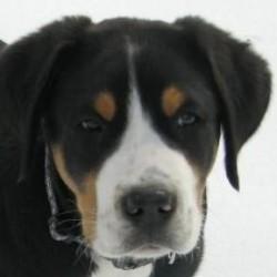 Büyük İsveç Dağ Köpeği