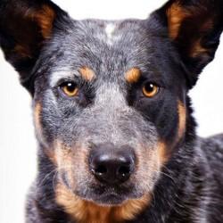 Avustralya Sığır Köpeği