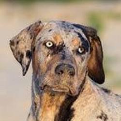 Catahoula Leopar Köpeği