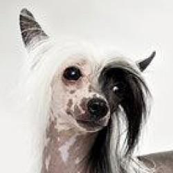 Çin Creste Köpeği