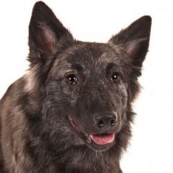 Hollanda Çoban Köpeği