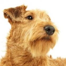 İrlandalı Terrier