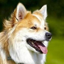İzlanda Köpeği