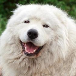 Maremma Çoban Köpeği