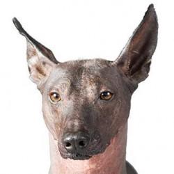 Peru Tüysüz Köpeği