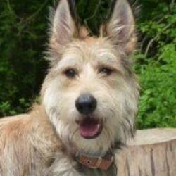 Picardy Çoban Köpeği