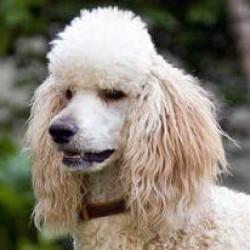 Poodle(Standart Kaniş)