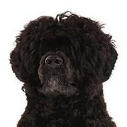 Portekiz Su Köpeği