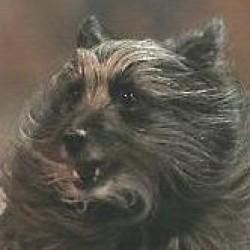 Pyrenees Çoban Köpeği