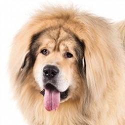Tibetli Mastiff