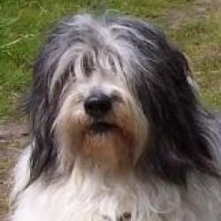 Valee Çoban Köpeği