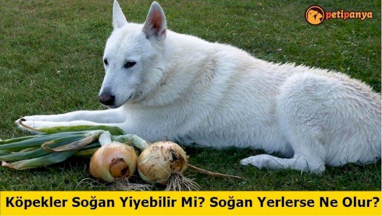 Köpekler Soğan Yiyebilir Mi? Soğan Yerlerse Ne Olur?