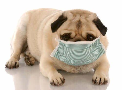 Köpekler Corona Virüsüne Yakalanabilir Mi? 2020